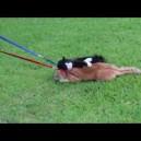 Pisica refuza sa mearga la plimbare