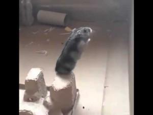 Hamsterul asta crede ca poate sa zboare
